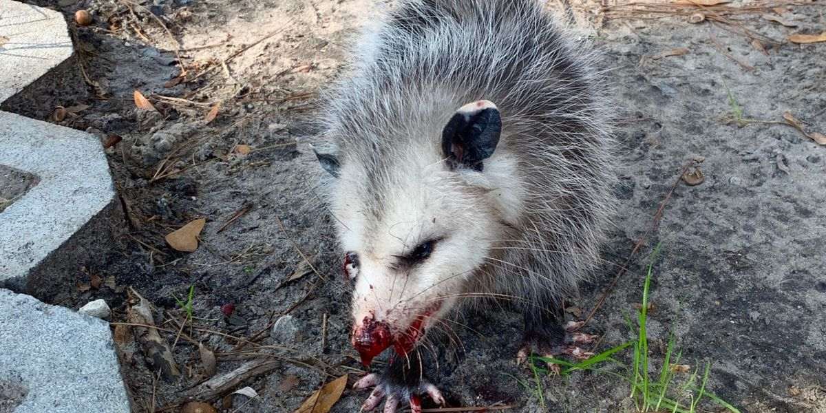 SCDNR: Investigation into injured opossum 'inconclusive'