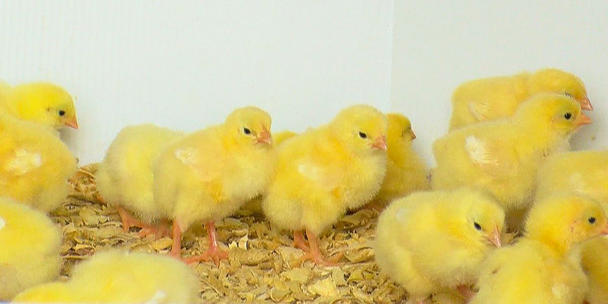Lowcountry farmer shares concerns after mail-order chicks arrive dead