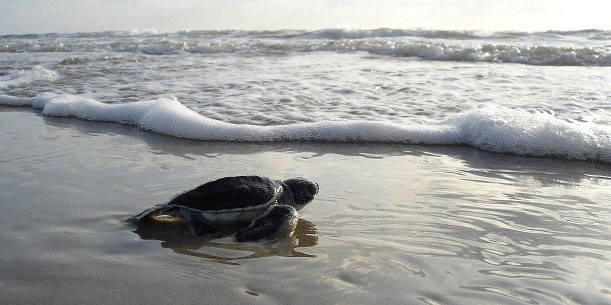 Public sea turtle release to take place at Isle of Palms