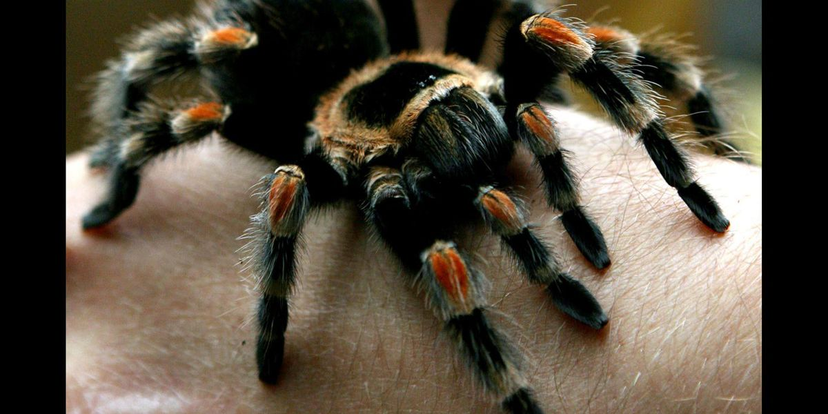 Package missing off Spartanburg woman's porch had 9 Tarantula spiders in it, report says