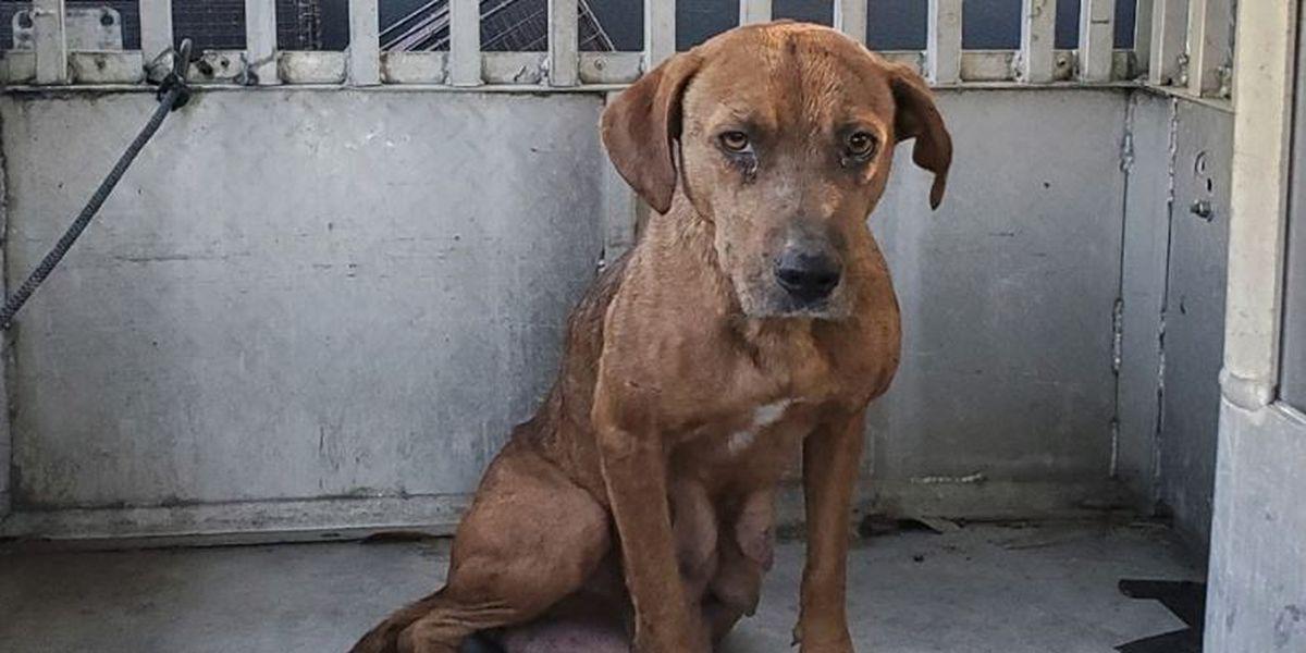 Deputies capture 3 feral dogs accused of killing pets on James Island