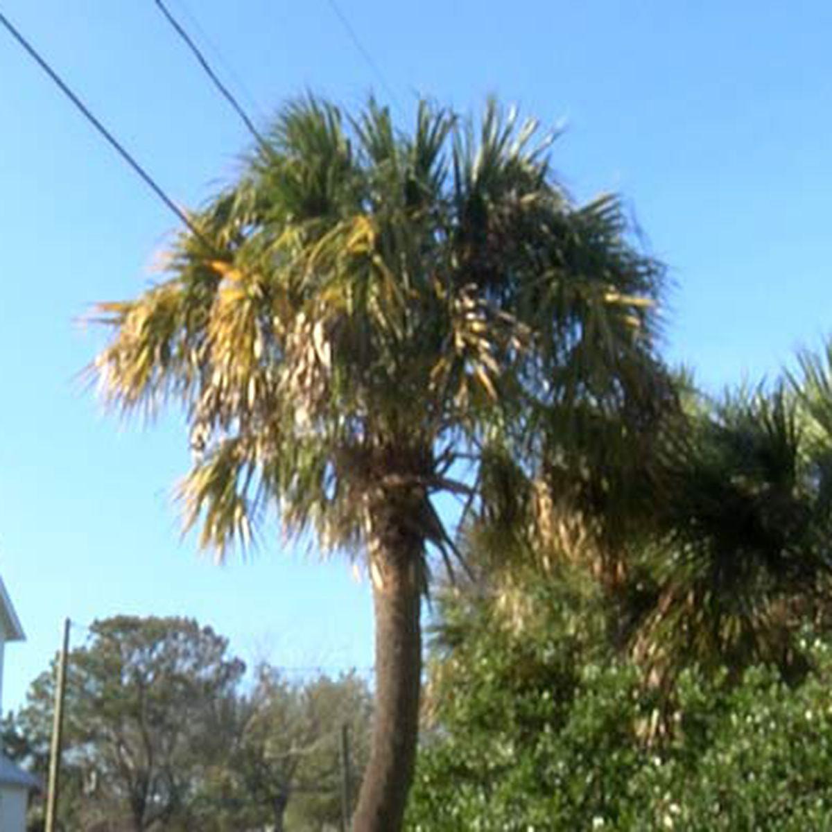 Dominion Energy suspends plan to cut trees on Sullivan's Island