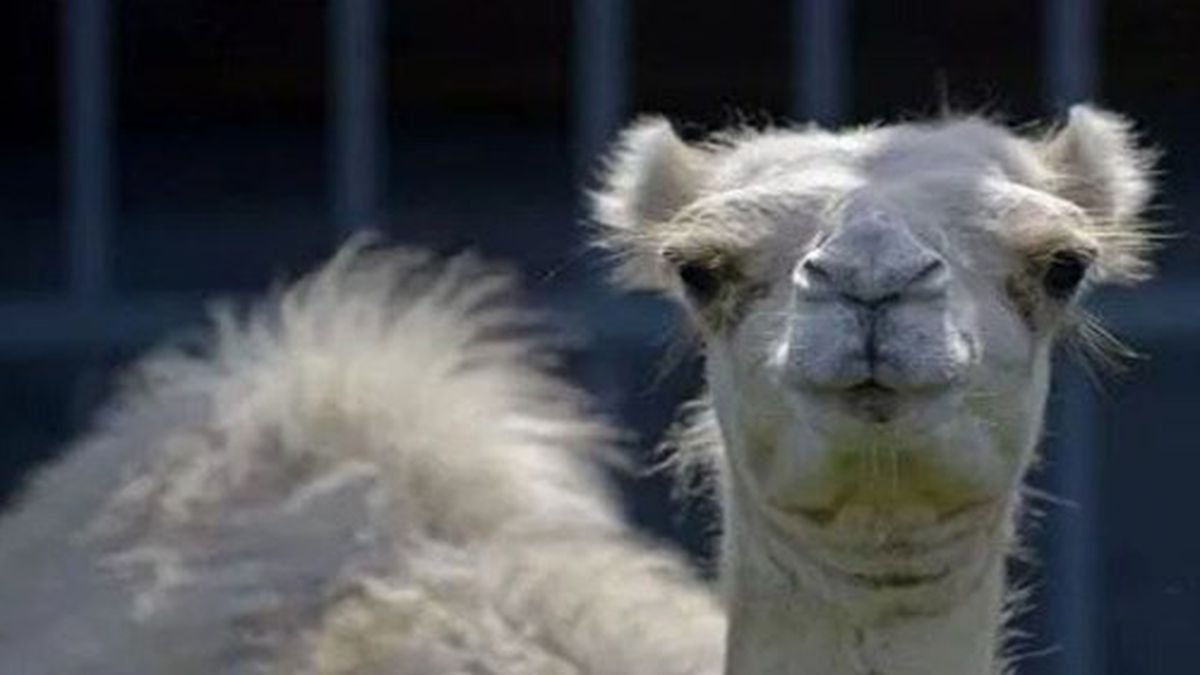 Sheriff: Woman bites camel to escape attack in enclosure at Louisiana truck stop