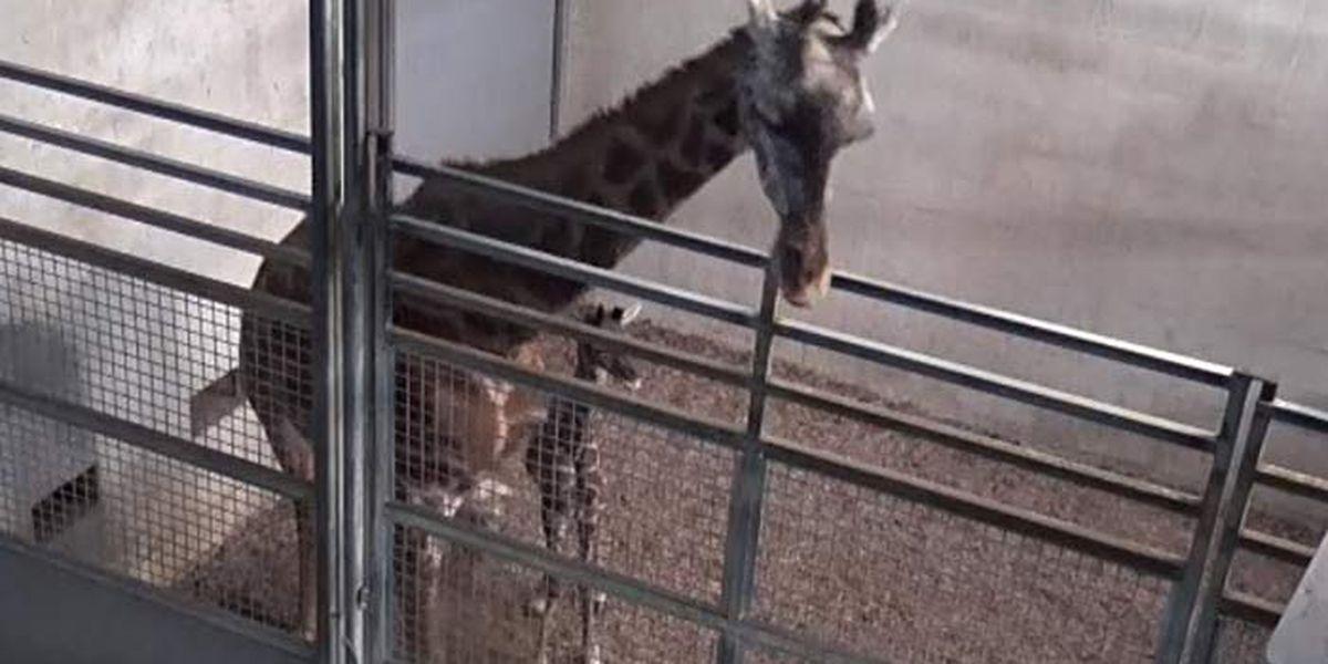 SC zoo celebrates birth of new giraffe