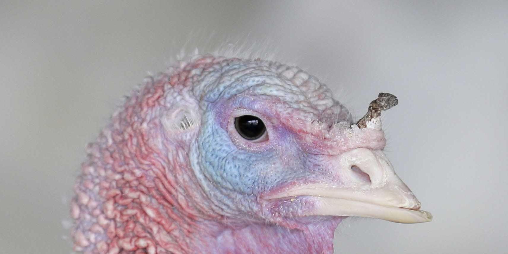Tiny turkeys trending this Thanksgiving