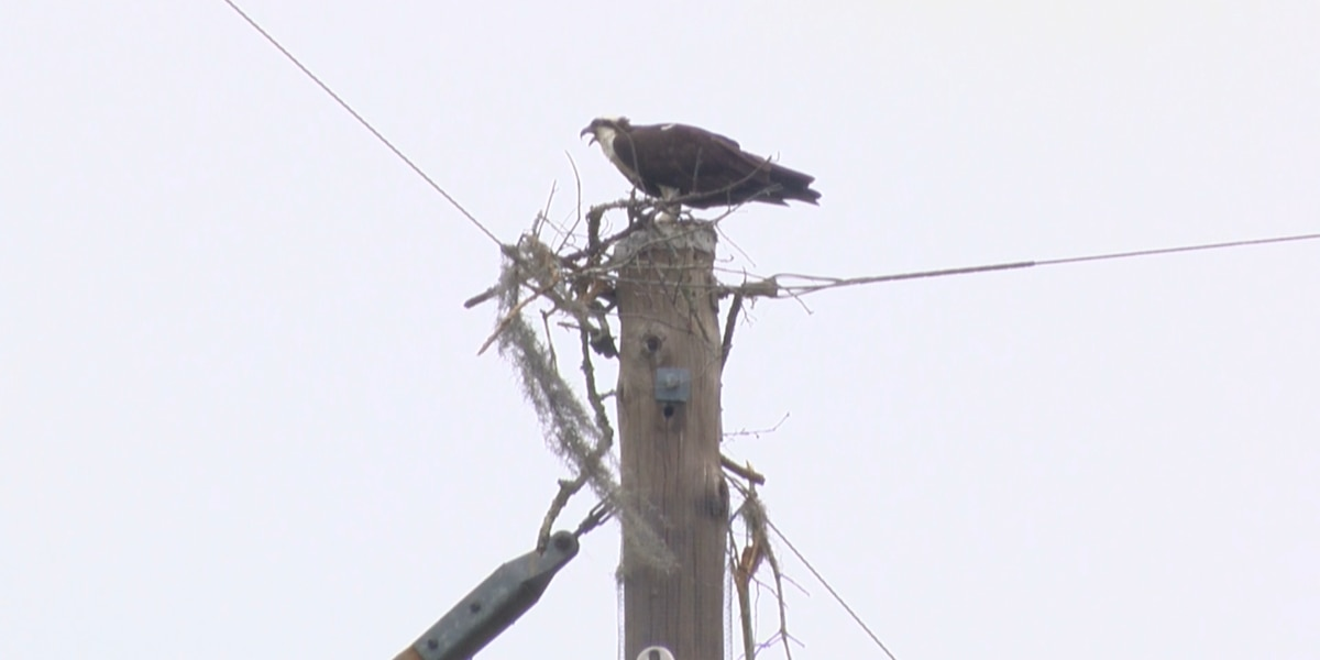 Feds investigating removal of Osprey nest in Mount Pleasant neighborhood