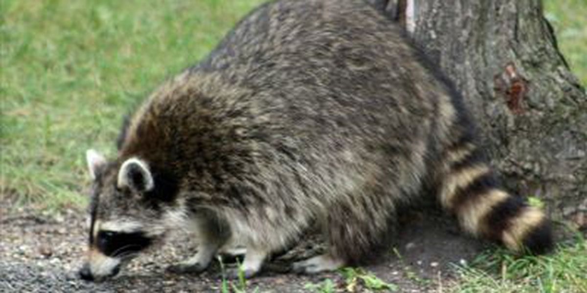 Hollywood woman treated for rabies after bite from pet racoon