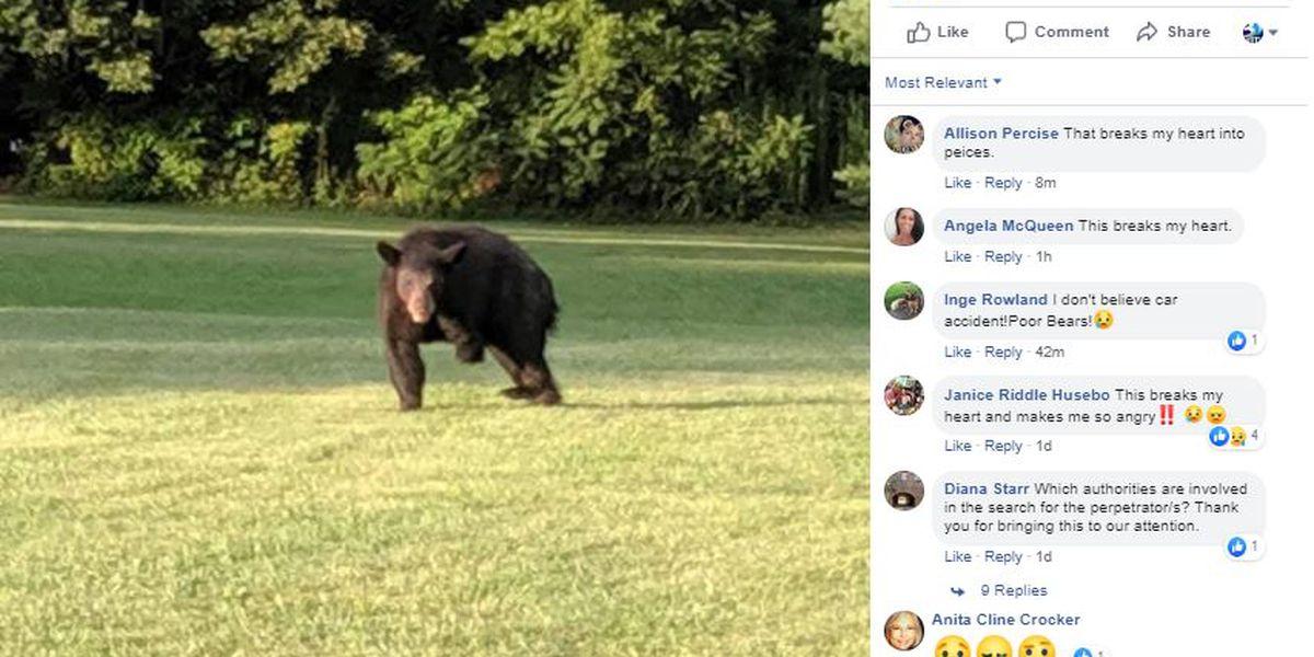 Three-legged bears popping up around NC mountains