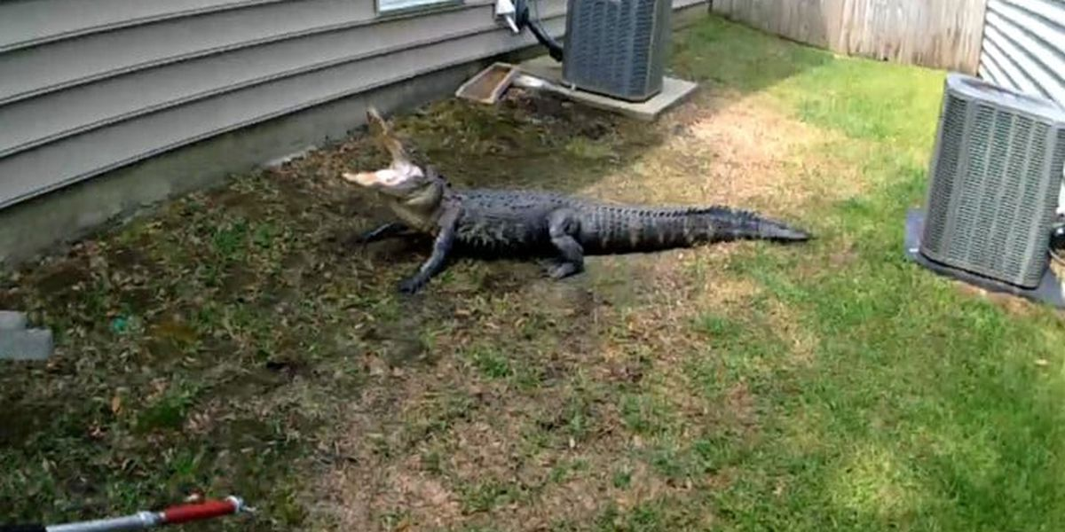 Resident runs into 7-foot gator at West Ashley home