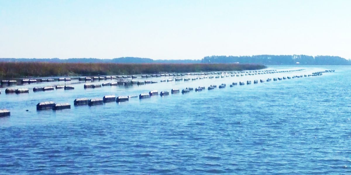 SC bill could stop permits for oyster summer harvest