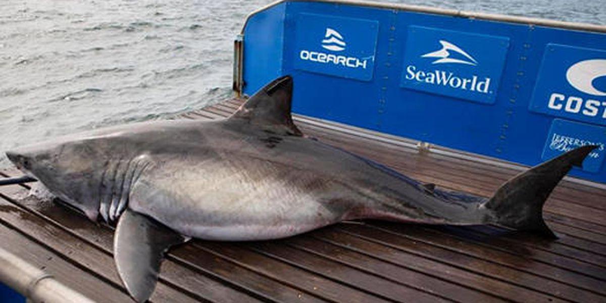 13-foot great white shark pings near Myrtle Beach