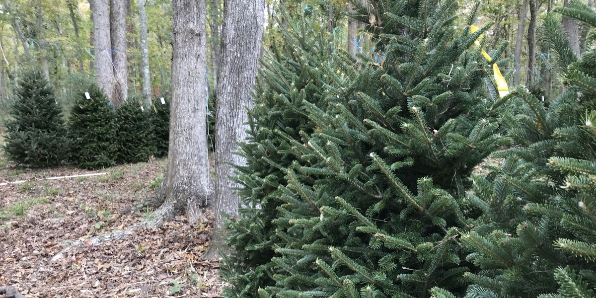 Lowcountry Christmas tree farms experience shortage