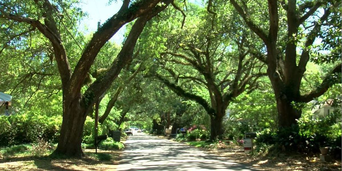 Riverland Terrace residents start petition to prevent trimming of oak trees