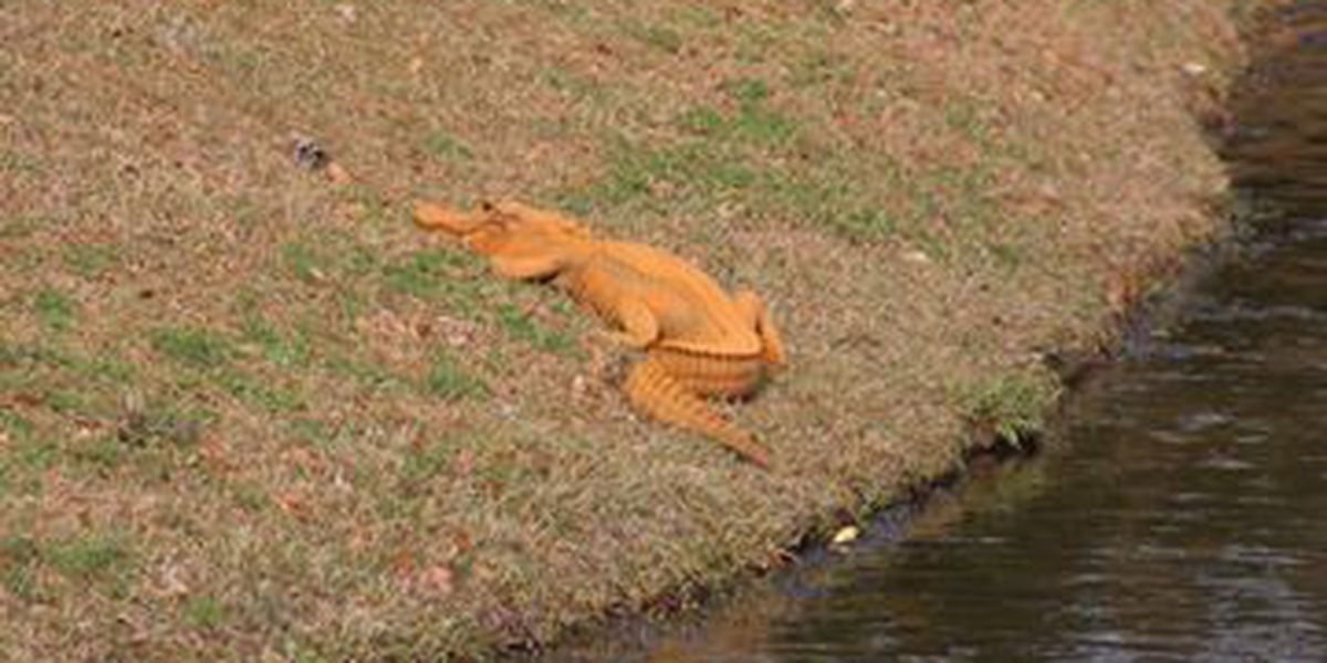 Orange alligator nicknamed 'Trumpagator' becomes social media sensation