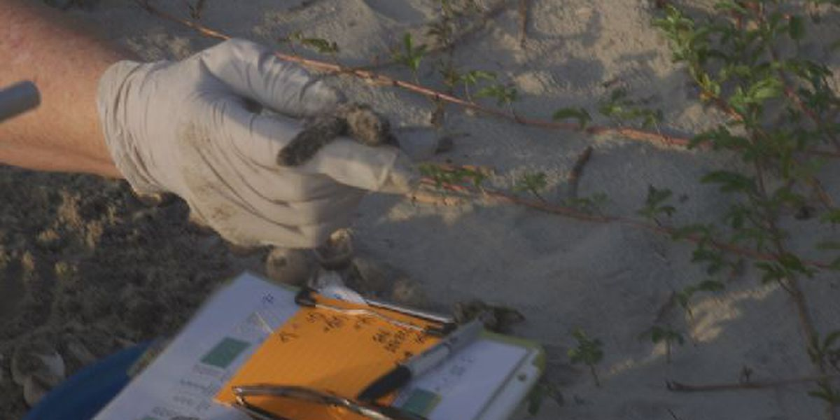 Newly hatched turtles heading toward buildings instead of ocean on Folly Beach