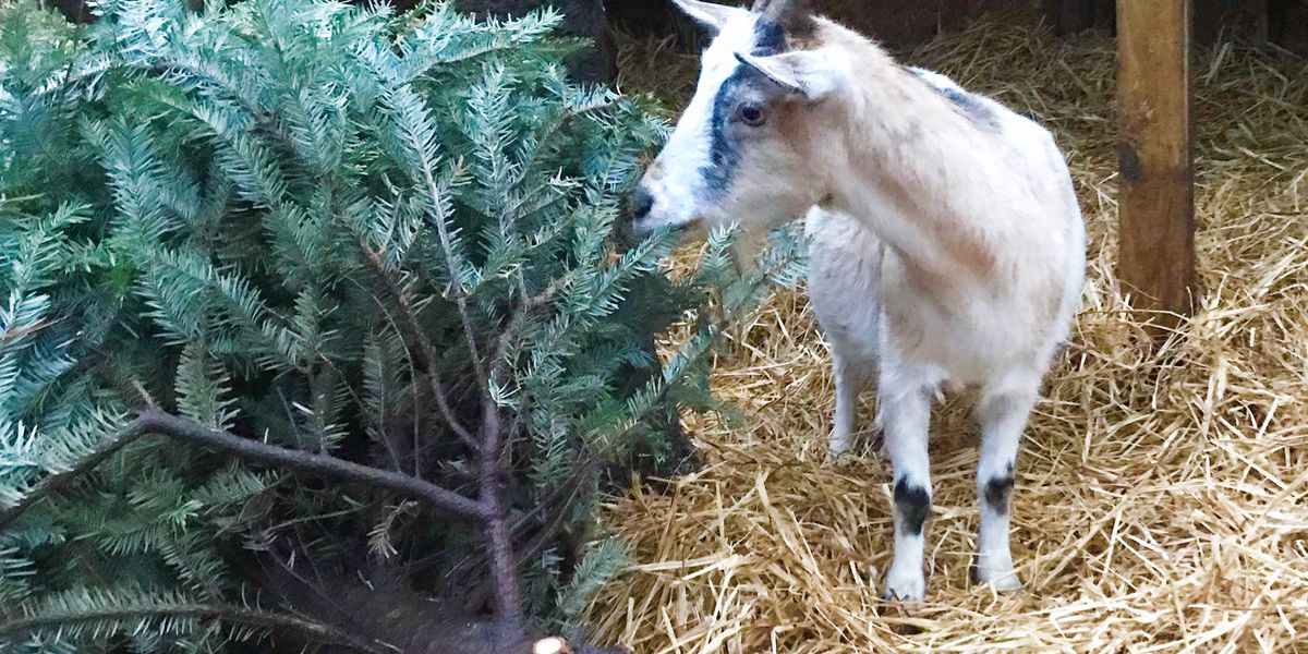 Cottageville zoo recycling Christmas trees with goats