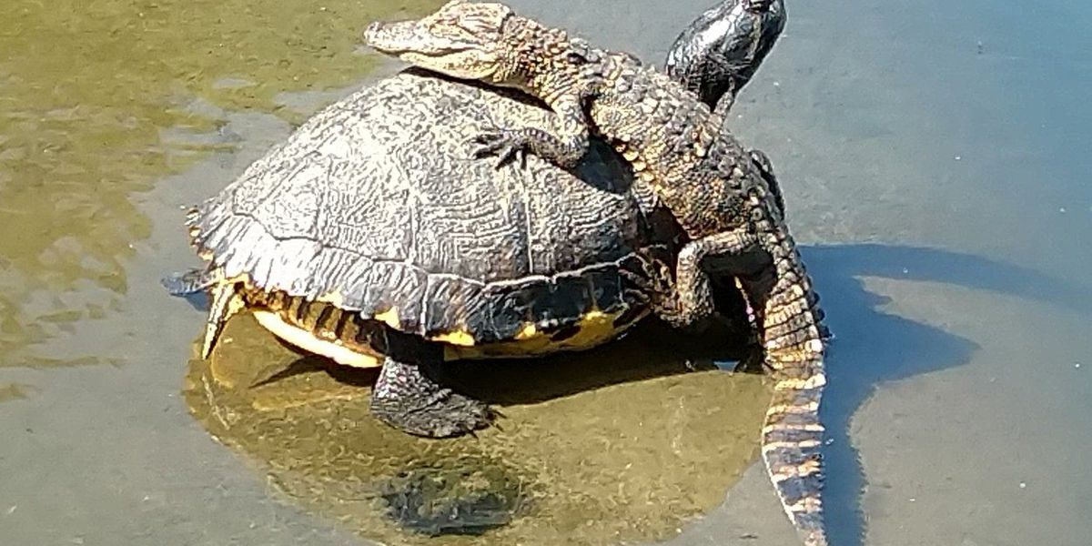 PHOTO: Alligator on top of turtle described as 'Kiawah Uber'
