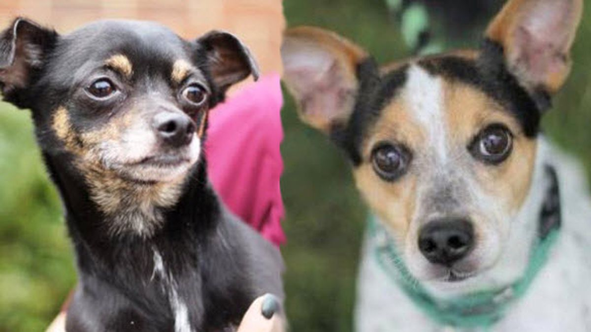 Blind dog and his 'seeing eye chihuahua' are looking for a home together