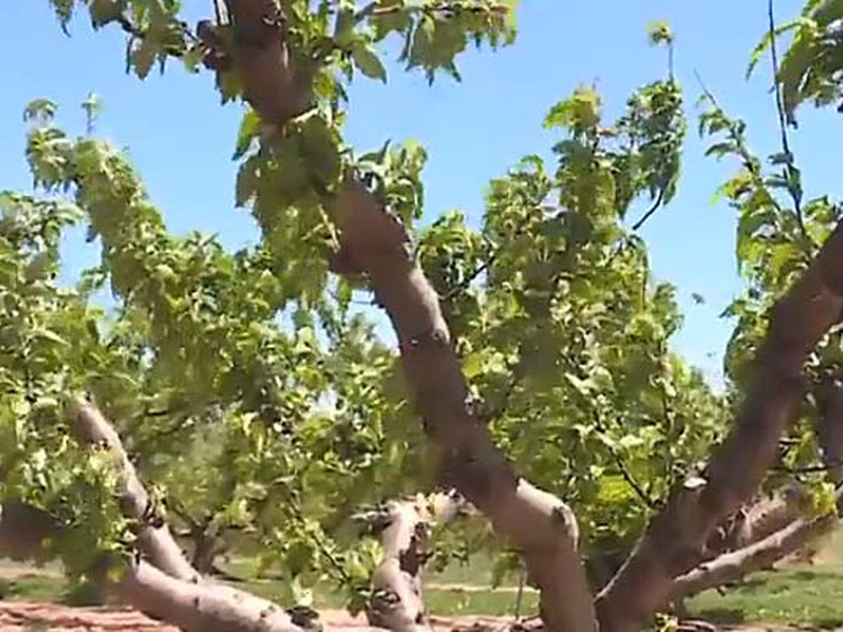 SC peach farmers fear harm from overnight frost