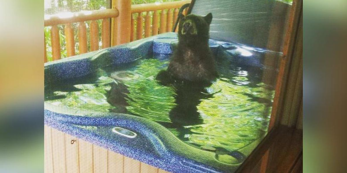 Black bear caught in a hot tub living its best life in Tennessee