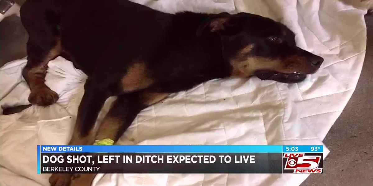 VIDEO: Berkeley County officials say dog was shot and found in ditch, connected to heavy chain