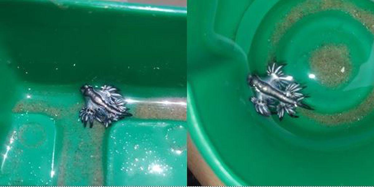 Yikes! Venomous blue dragons wash up on Texas beaches