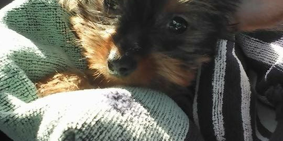 Yorkie puppy traded for crack cocaine found safe