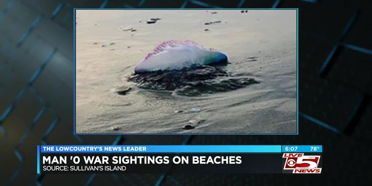 VIDEO: Officials issue warning after Portuguese man o' war sightings at Lowcountry beaches