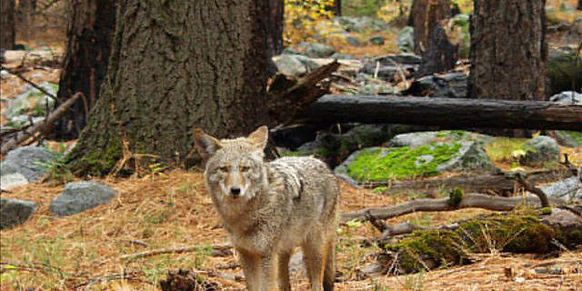 DHEC: Coyote exposes 1 to rabies in Beaufort County