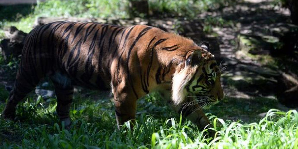 Topeka Zoo tiger will not be euthanized after attack; keeper in stable condition