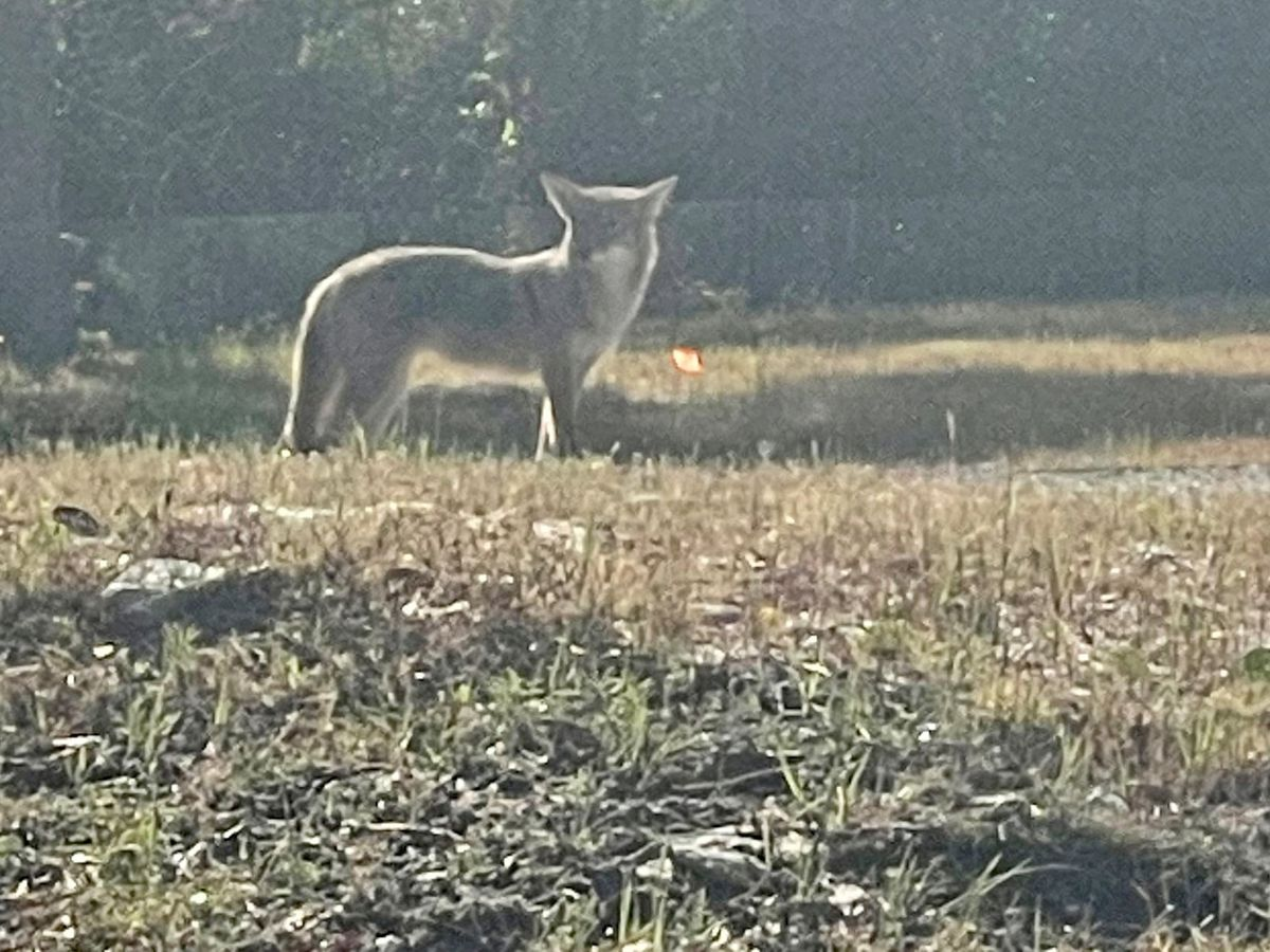 Isle of Palms police cautioning pet owners due to increased coyote sightings