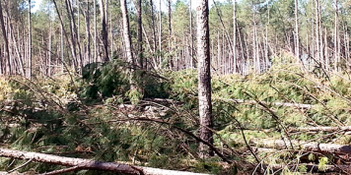 Hurricane Matthew caused over $200M in timber damage statewide