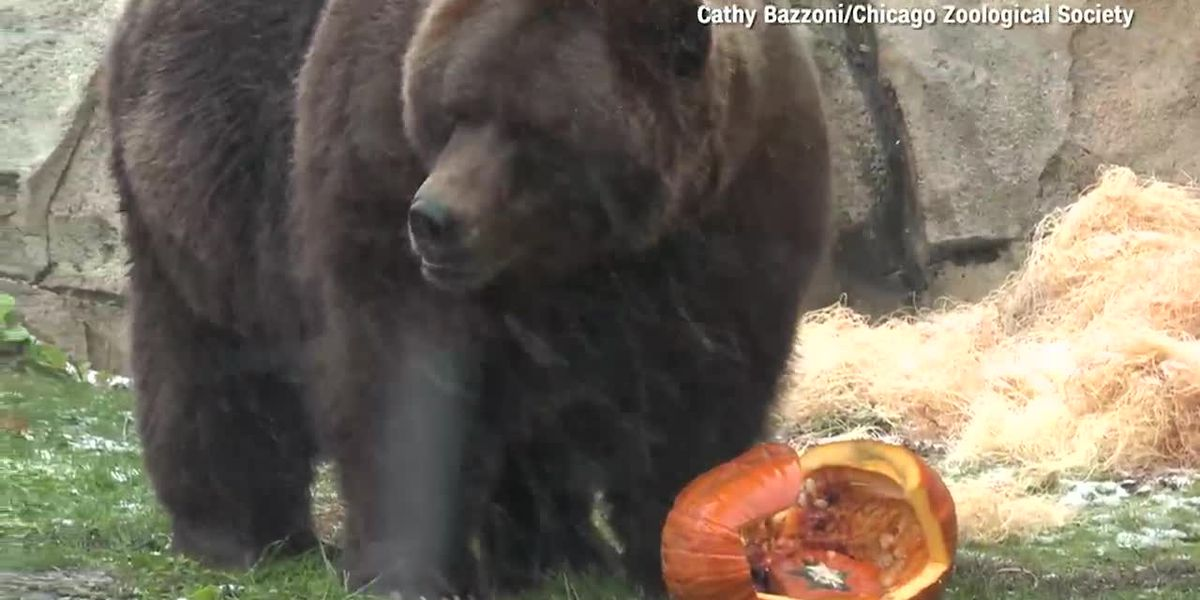 Watch: Zoo animals chow down on jack-o-lanterns for Halloween