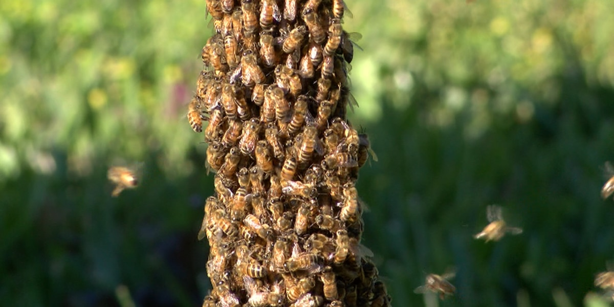 Bee swarms near your home? Here's what to do