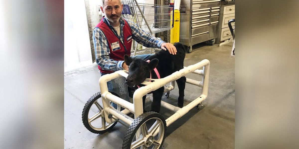 Lowe's employee goes 'above and beyond' to make special wheelchair for baby cow