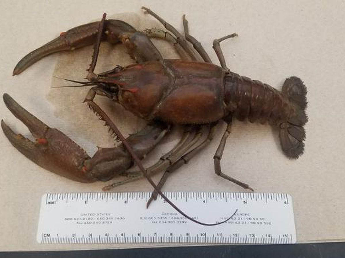 Kentucky water plant worker finds 'giant' crayfish