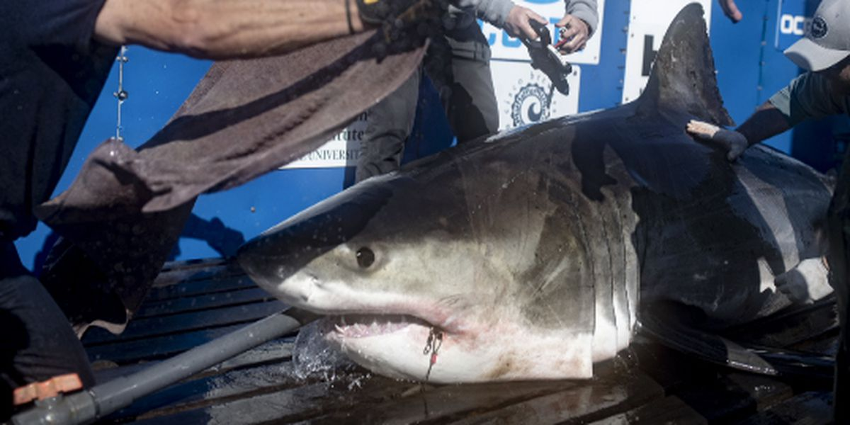 Group working to find out why massive sharks visit SC coastal waters