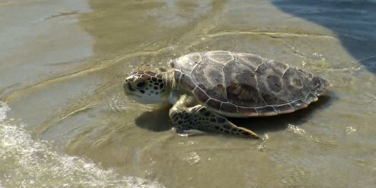 Sea turtle season has earliest start remembered in SC