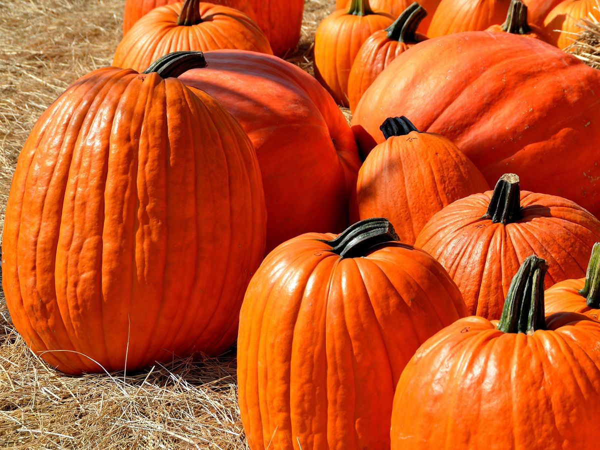 Boone Hall Pumpkin Patch open for the month