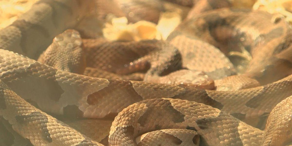 SC politician bitten by copperhead snake at Lexington home