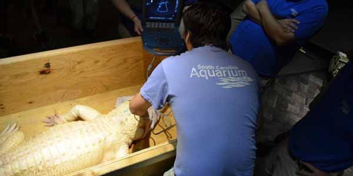 Albino gator at SC Aquarium grows 3 inches, gains 20 pounds