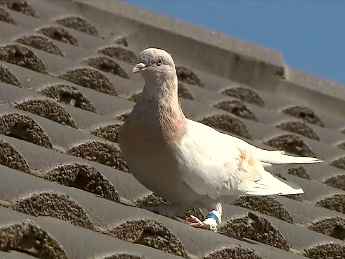 'Fake' US leg band may get pigeon a reprieve in Australia