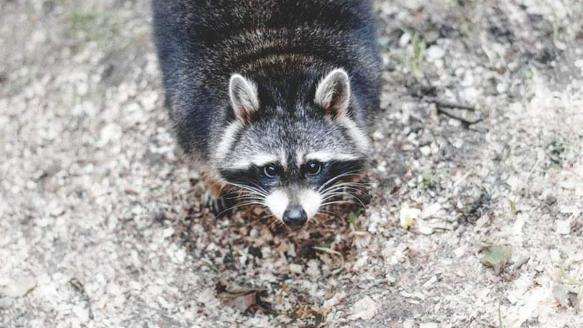 Health officials warn of 2 possible human rabies exposures from raccoons in Charleston County