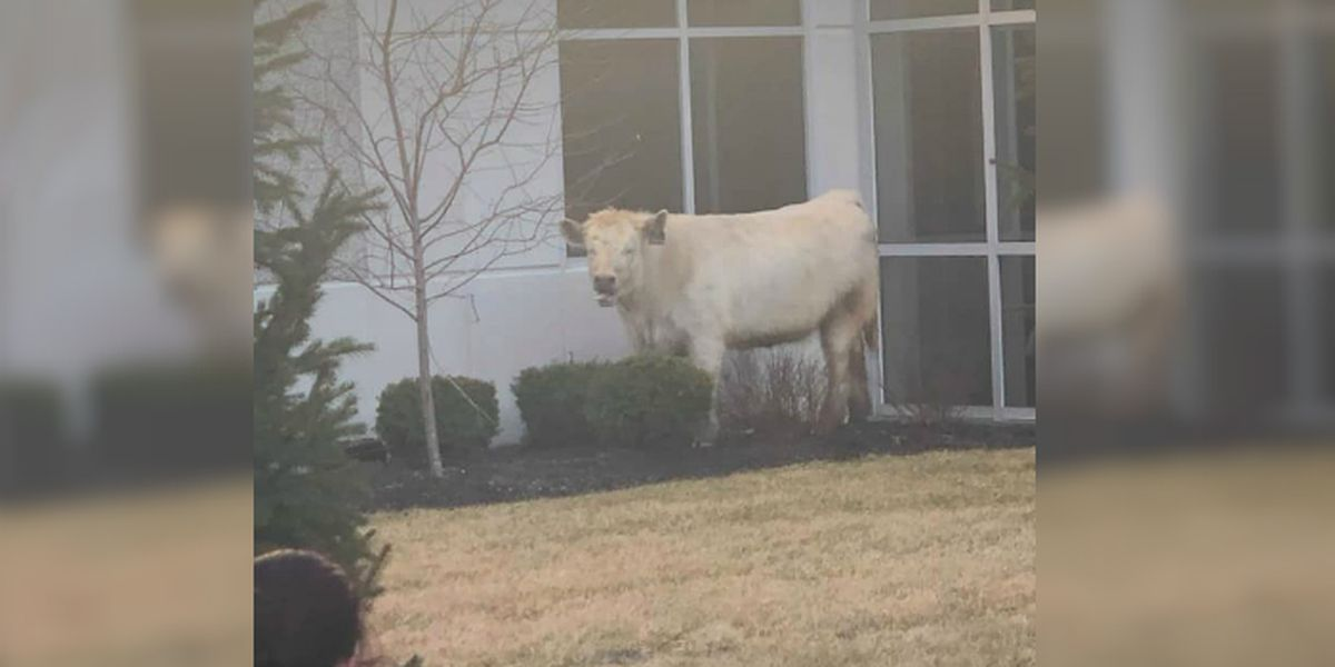 Cow seeks sanctuary from police at Chick-fil-A