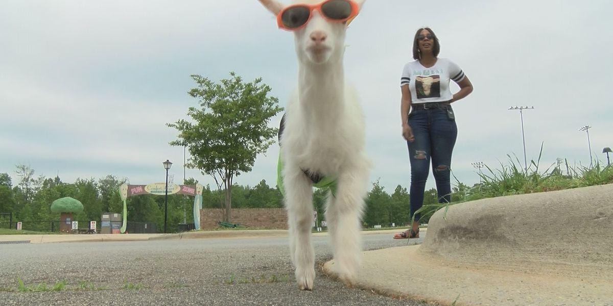 Stylish Gaston County goat becomes social media sensation