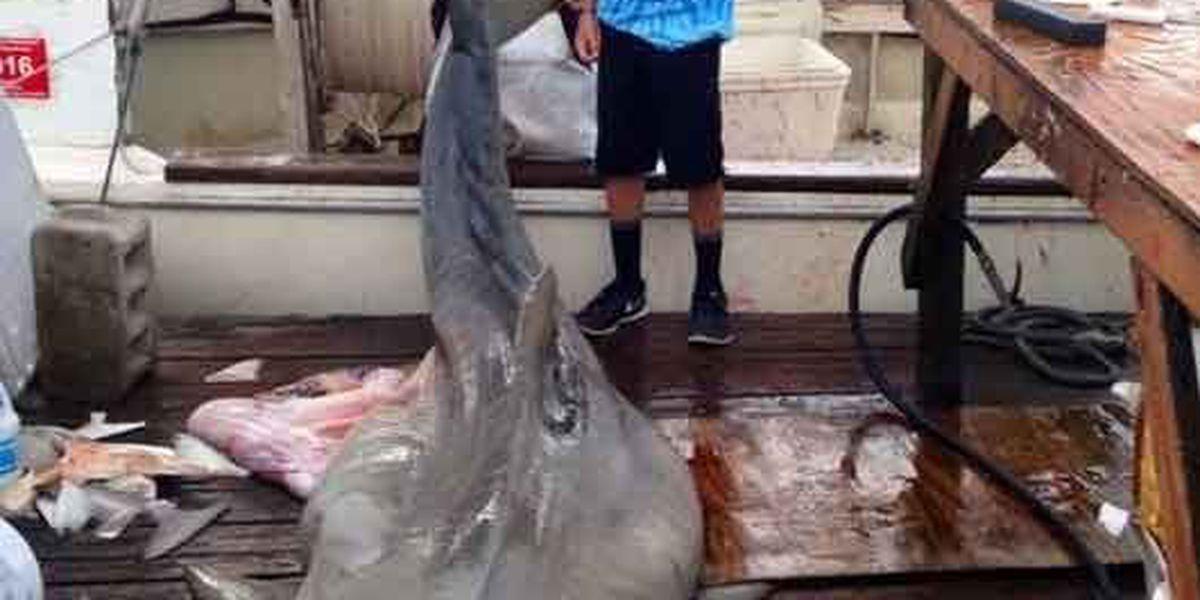 Fishermen reel in monster-sized tiger shark off Folly Beach