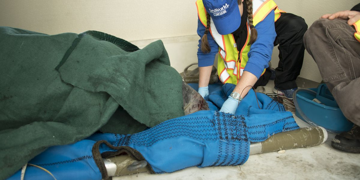 Manatee rescued from Cooper River, transported to Jacksonville Zoo