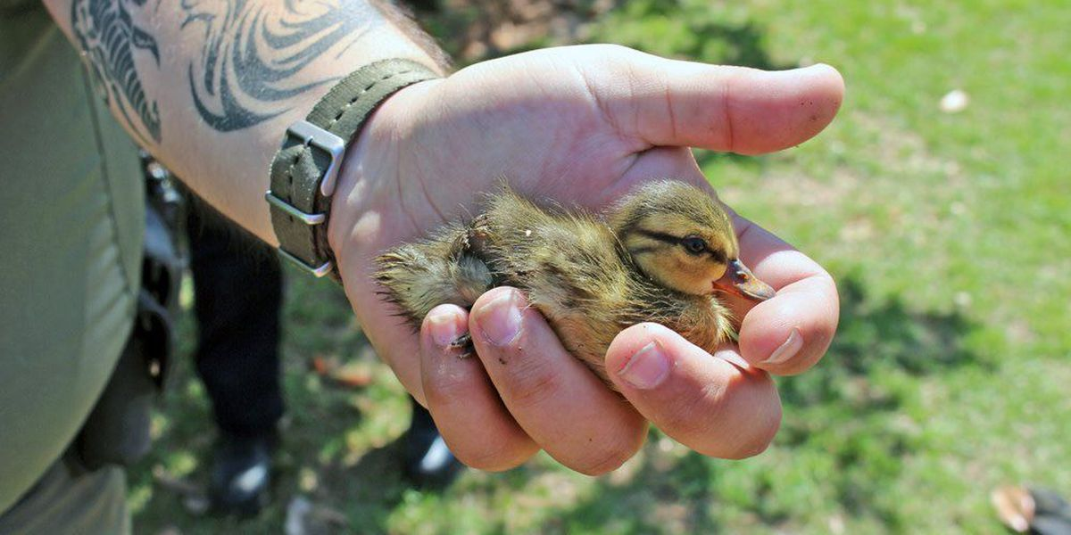 Lucky ducks! North Charleston officers reunite mother duck, ducklings