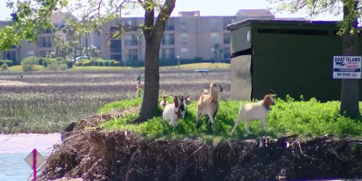 Murrells Inlet goats to be evacuated ahead of Hurricane Dorian