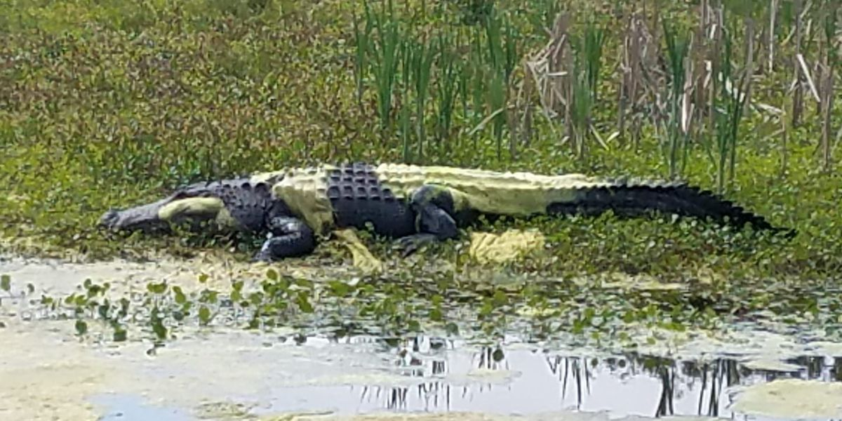 Alligator covered in pollen spotted along Georgia Coast